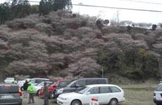 バスの窓から撮った小原の山です。一面が四季桜と紅葉でとてもきれいでした。