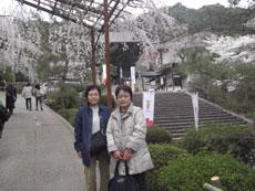 桜が見ごろを迎えた長谷寺にて